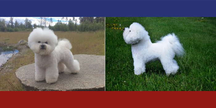 bichon se usa - photo #25