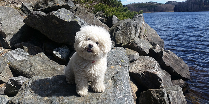 bichon se usa - photo #27